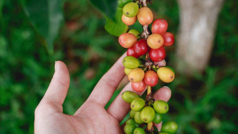 Le journal de l'artisan torréfacteur: la commande de grains verts